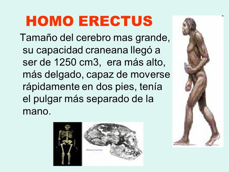 HOMO ERECTUS Tamaño del cerebro mas grande, su capacidad craneana llegó a ser de 1250 cm3, era más alto, más delgado, capaz de moverse rápidamente en