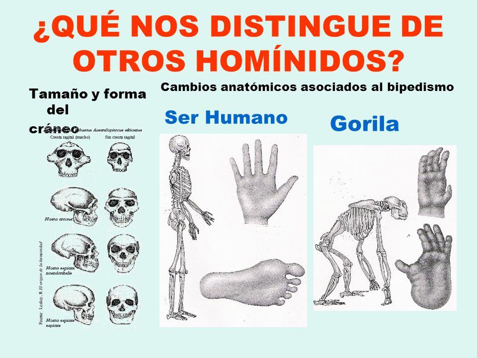 ¿QUÉ NOS DISTINGUE DE OTROS HOMÍNIDOS? Tamaño y forma del cráneo Cambios anatómicos asociados al bipedismo Ser Humano Gorila