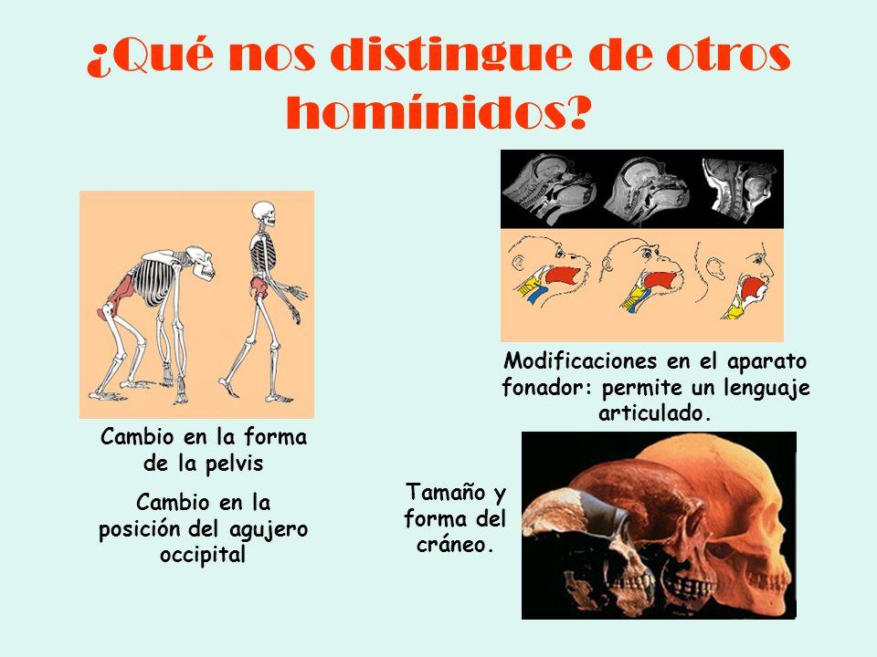 ¿Qué nos distingue de otros homínidos? Cambio en la forma de la pelvis Cambio en la posición del agujero occipital Modificaciones en el aparato fonado