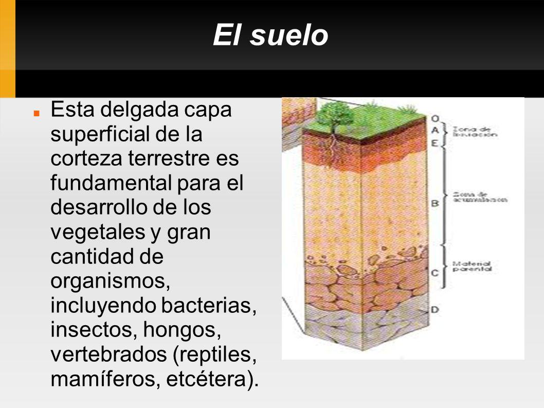 El suelo Esta delgada capa superficial de la corteza terrestre es fundamental para el desarrollo de los vegetales y gran cantidad de organismos, inclu