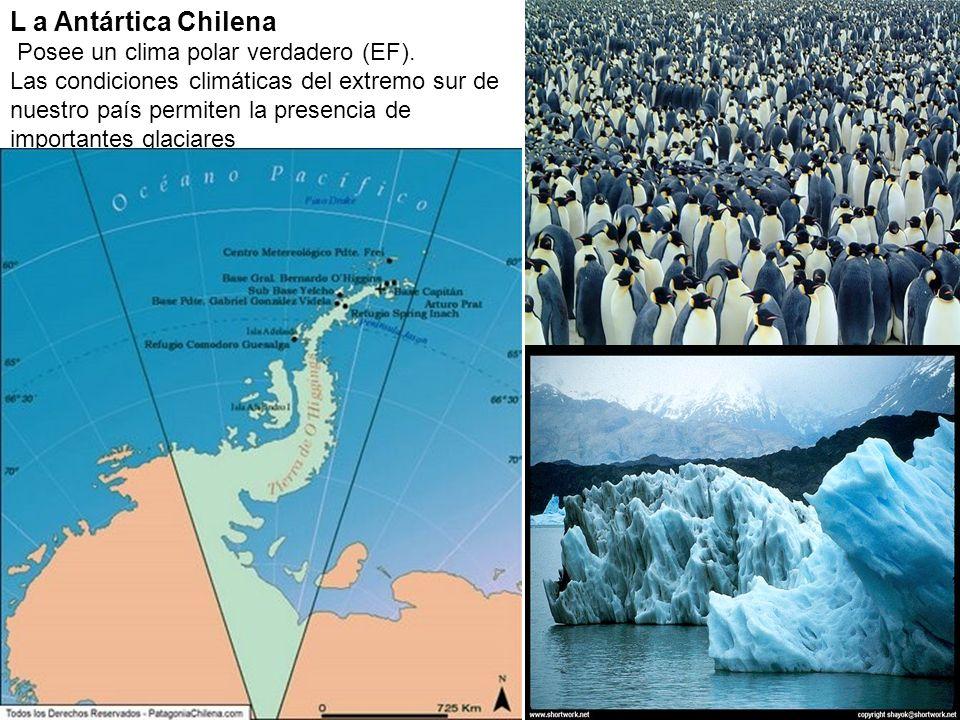 L a Antártica Chilena Posee un clima polar verdadero (EF). Las condiciones climáticas del extremo sur de nuestro país permiten la presencia de importa
