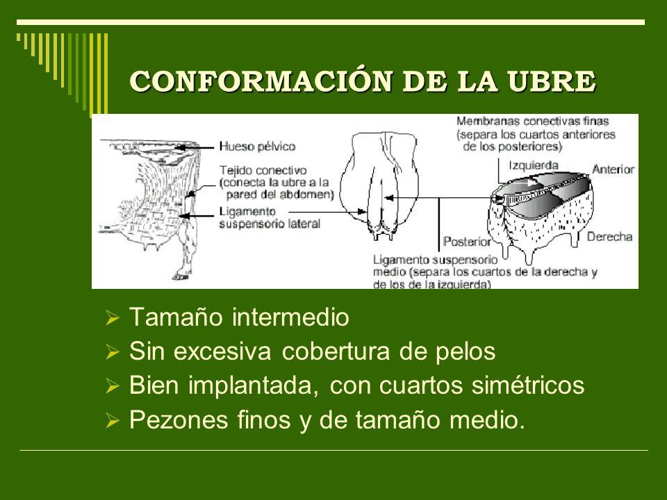 CONFORMACIÓN DE LA UBRE Tamaño intermedio Sin excesiva cobertura de pelos Bien implantada, con cuartos simétricos Pezones finos y de tamaño medio.