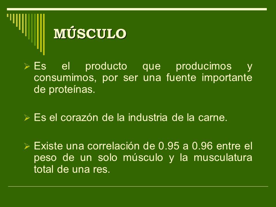 MÚSCULO Es el producto que producimos y consumimos, por ser una fuente importante de proteínas. Es el corazón de la industria de la carne. Existe una