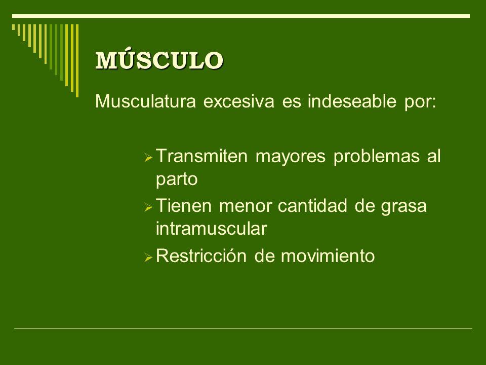 MÚSCULO Musculatura excesiva es indeseable por: Transmiten mayores problemas al parto Tienen menor cantidad de grasa intramuscular Restricción de movi