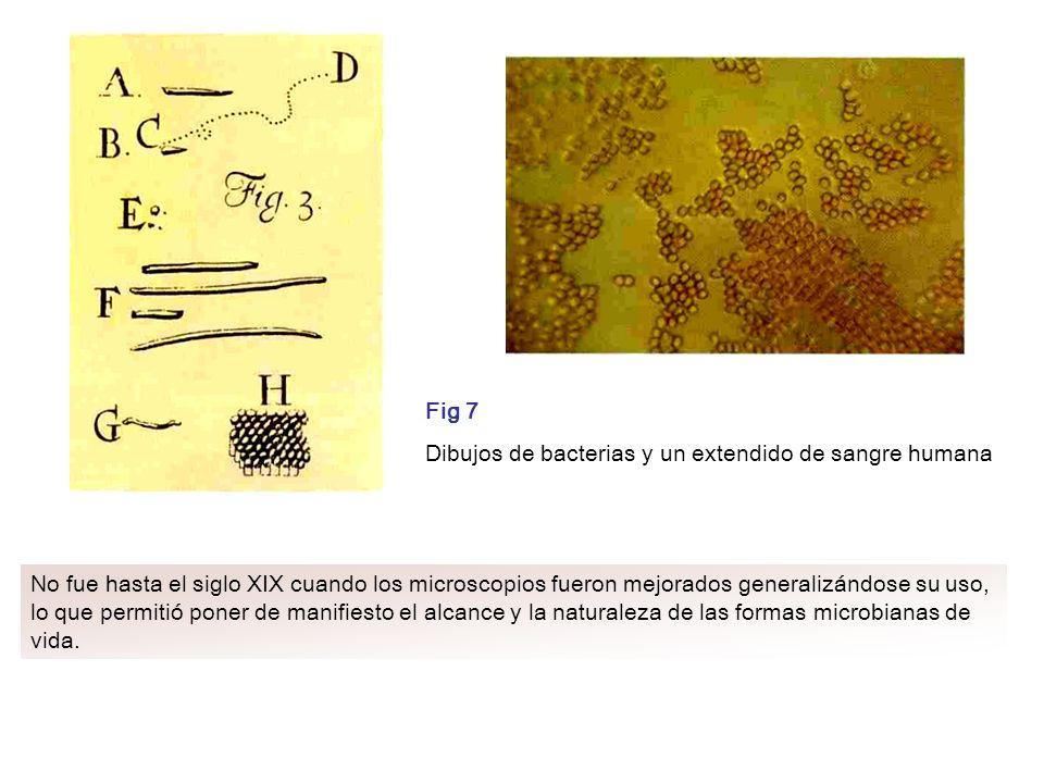 Fig 7 Dibujos de bacterias y un extendido de sangre humana No fue hasta el siglo XIX cuando los microscopios fueron mejorados generalizándose su uso,