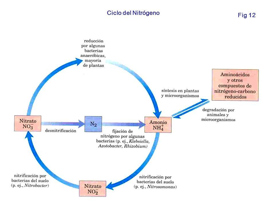 Ciclo del Nitrógeno Fig 12