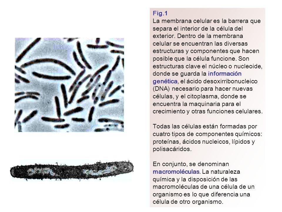 Fig.1 La membrana celular es la barrera que separa el interior de la célula del exterior. Dentro de la membrana celular se encuentran las diversas est