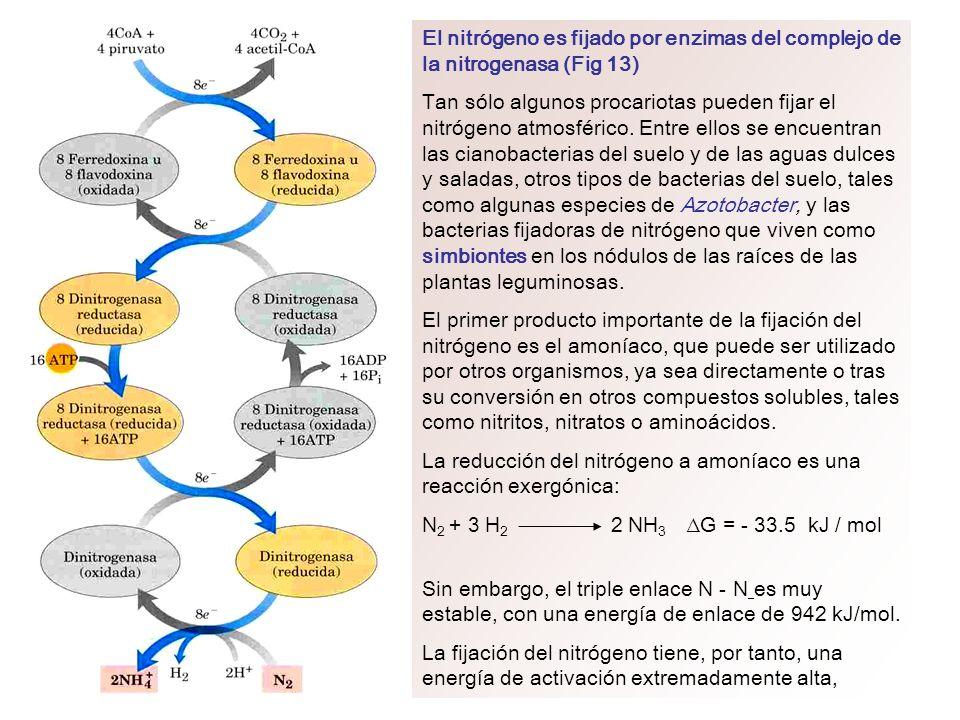 El nitrógeno es fijado por enzimas del complejo de la nitrogenasa (Fig 13) Tan sólo algunos procariotas pueden fijar el nitrógeno atmosférico. Entre e