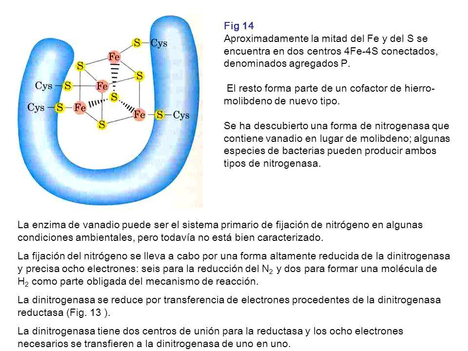 Fig 14 Aproximadamente la mitad del Fe y del S se encuentra en dos centros 4Fe-4S conectados, denominados agregados P. El resto forma parte de un cofa