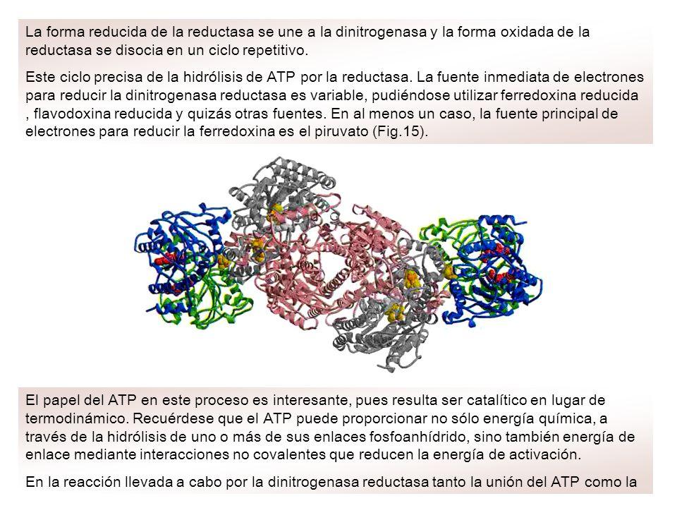 La forma reducida de la reductasa se une a la dinitrogenasa y la forma oxidada de la reductasa se disocia en un ciclo repetitivo. Este ciclo precisa d
