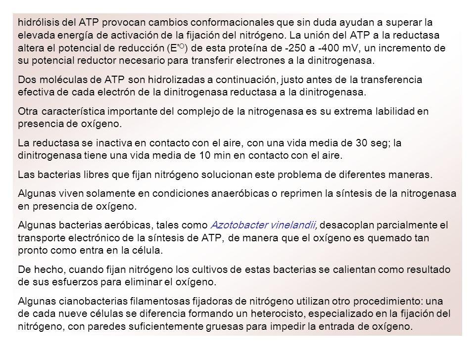 hidrólisis del ATP provocan cambios conformacionales que sin duda ayudan a superar la elevada energía de activación de la fijación del nitrógeno. La u
