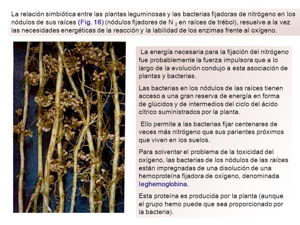 La relación simbiótica entre las plantas leguminosas y las bacterias fijadoras de nitrógeno en los nódulos de sus raíces (Fig. 16) (nódulos fijadores