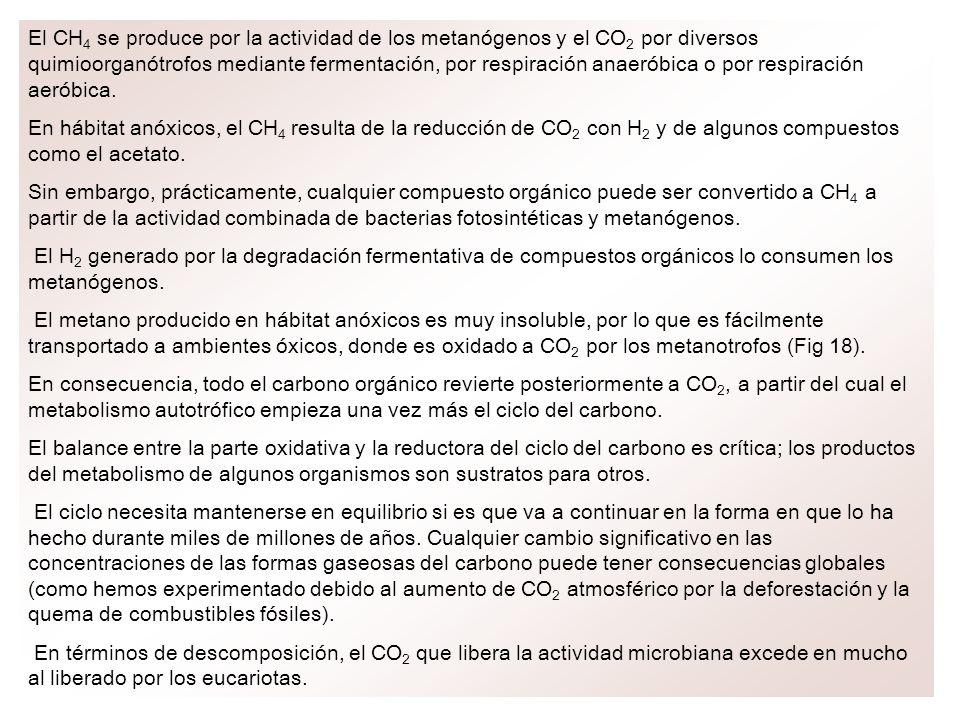 El CH 4 se produce por la actividad de los metanógenos y el CO 2 por diversos quimioorganótrofos mediante fermentación, por respiración anaeróbica o p
