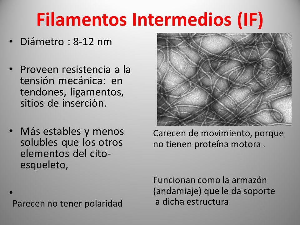 Filamentos Intermedios (IF) Diámetro : 8-12 nm Proveen resistencia a la tensión mecánica: en tendones, ligamentos, sitios de inserciòn. Más estables y