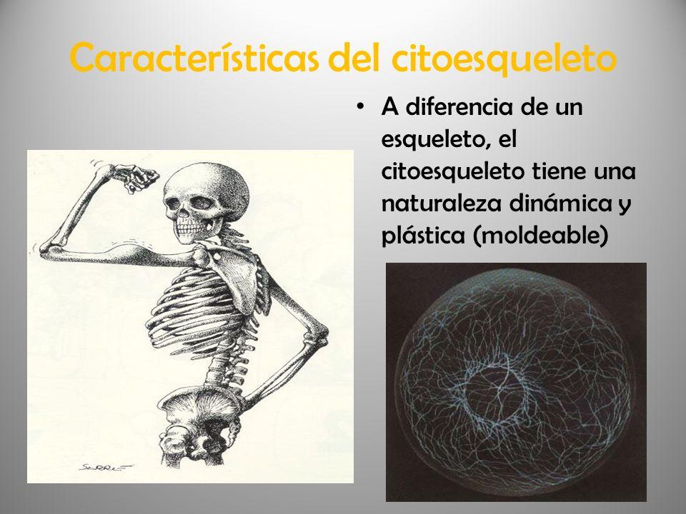 Características del citoesqueleto A diferencia de un esqueleto, el citoesqueleto tiene una naturaleza dinámica y plástica (moldeable)