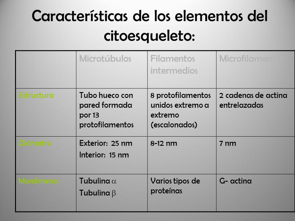 Características de los elementos del citoesqueleto: MicrotúbulosFilamentos intermedios Microfilamentos EstructuraTubo hueco con pared formada por 13 p
