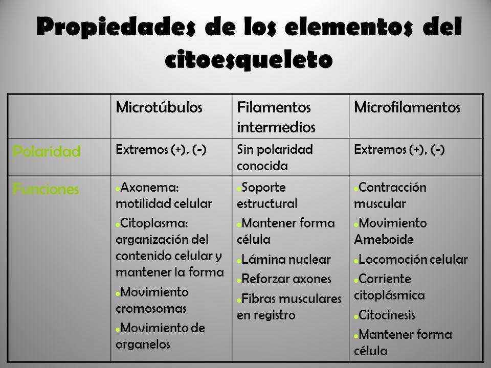 Propiedades de los elementos del citoesqueleto MicrotúbulosFilamentos intermedios Microfilamentos Polaridad Extremos (+), (-)Sin polaridad conocida Ex