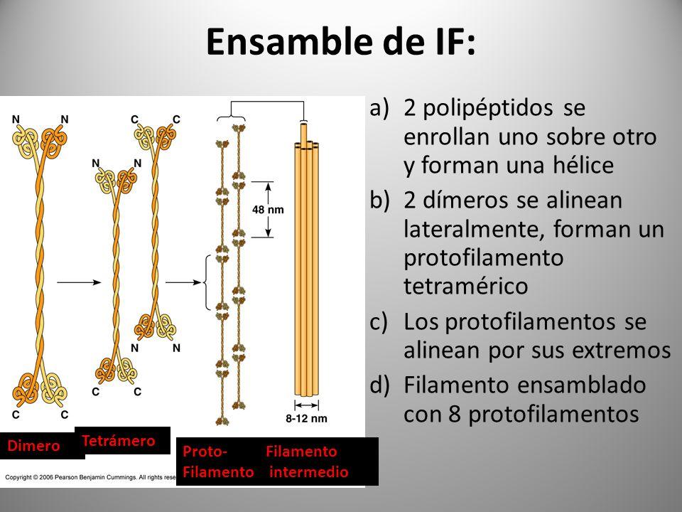Ensamble de IF: a)2 polipéptidos se enrollan uno sobre otro y forman una hélice b)2 dímeros se alinean lateralmente, forman un protofilamento tetramér