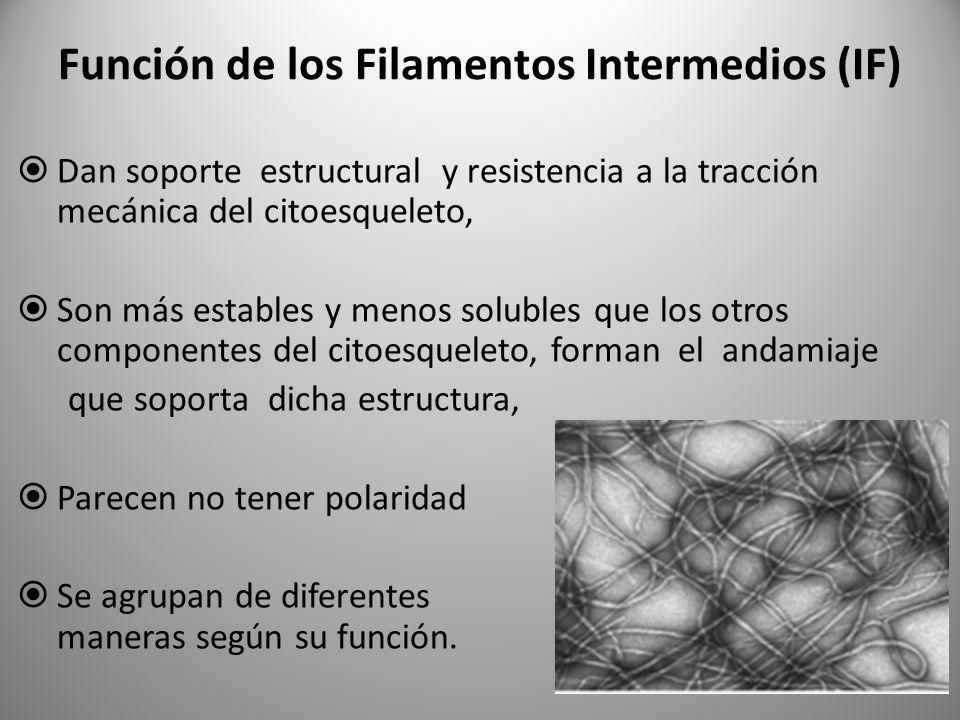 Función de los Filamentos Intermedios (IF) Dan soporte estructural y resistencia a la tracción mecánica del citoesqueleto, Son más estables y menos so