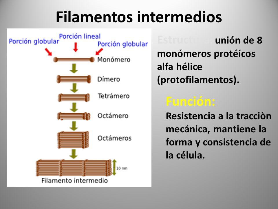 Filamentos intermedios Estructura : unión de 8 monómeros protéicos alfa hélice (protofilamentos). Función: Resistencia a la tracciòn mecánica, mantien