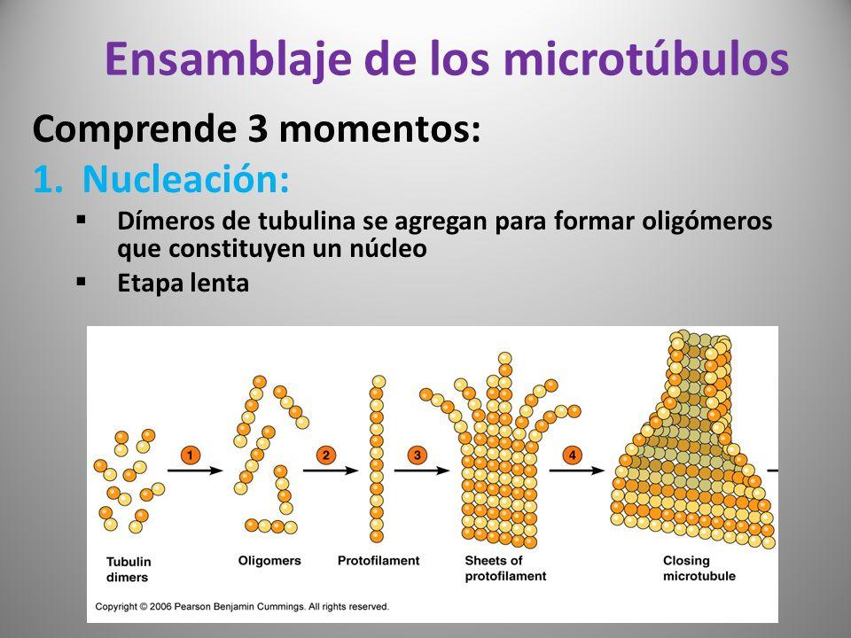 Ensamblaje de los microtúbulos Comprende 3 momentos: 1.Nucleación: Dímeros de tubulina se agregan para formar oligómeros que constituyen un núcleo Eta