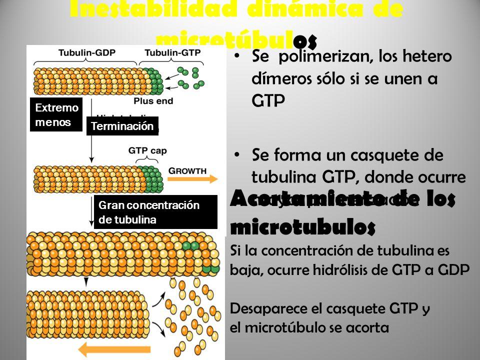 Inestabilidad dinámica de microtúbulos Se polimerizan, los hetero dímeros sólo si se unen a GTP Se forma un casquete de tubulina GTP, donde ocurre may