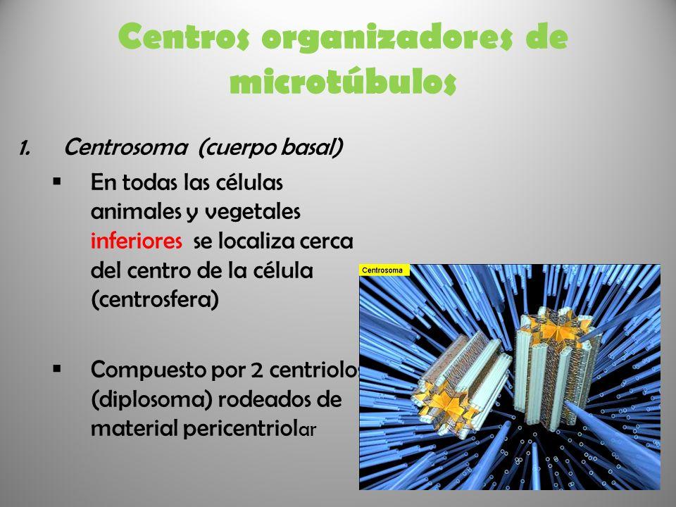 Centros organizadores de microtúbulos 1.Centrosoma (cuerpo basal) En todas las células animales y vegetales inferiores se localiza cerca del centro de