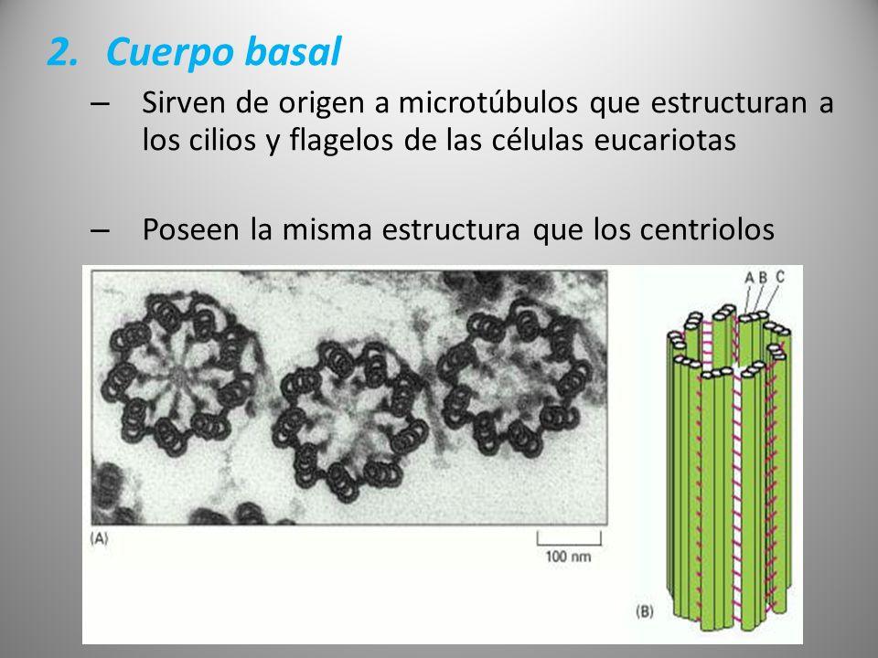 2.Cuerpo basal – Sirven de origen a microtúbulos que estructuran a los cilios y flagelos de las células eucariotas – Poseen la misma estructura que lo