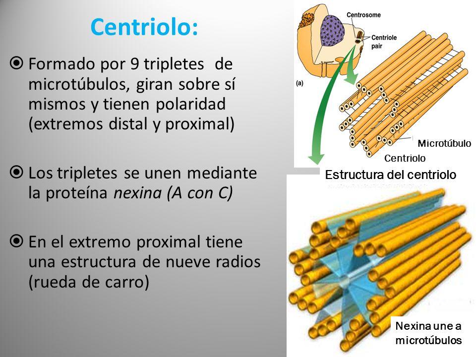 Centriolo: Formado por 9 tripletes de microtúbulos, giran sobre sí mismos y tienen polaridad (extremos distal y proximal) Los tripletes se unen median