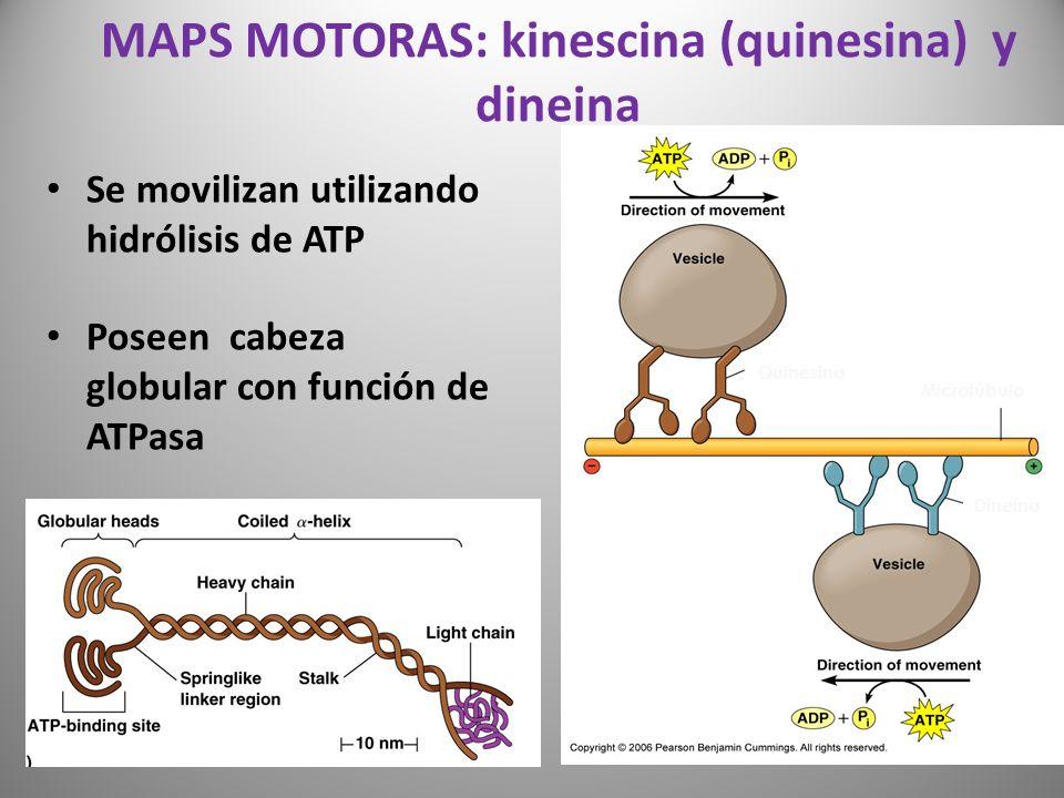 MAPS MOTORAS: kinescina (quinesina) y dineina Se movilizan utilizando hidrólisis de ATP Poseen cabeza globular con función de ATPasa Microtúbulo Quine