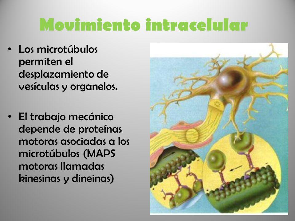 Movimiento intracelular Los microtúbulos permiten el desplazamiento de vesículas y organelos. El trabajo mecánico depende de proteínas motoras asociad