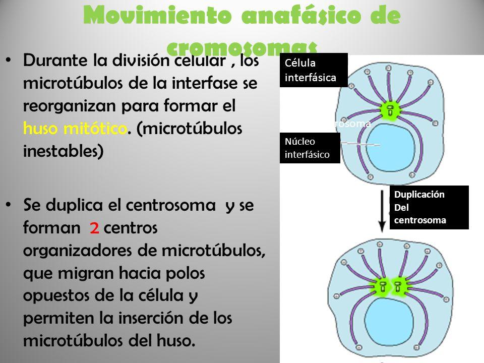 Durante la división celular, los microtúbulos de la interfase se reorganizan para formar el huso mitótico. (microtúbulos inestables) Se duplica el cen