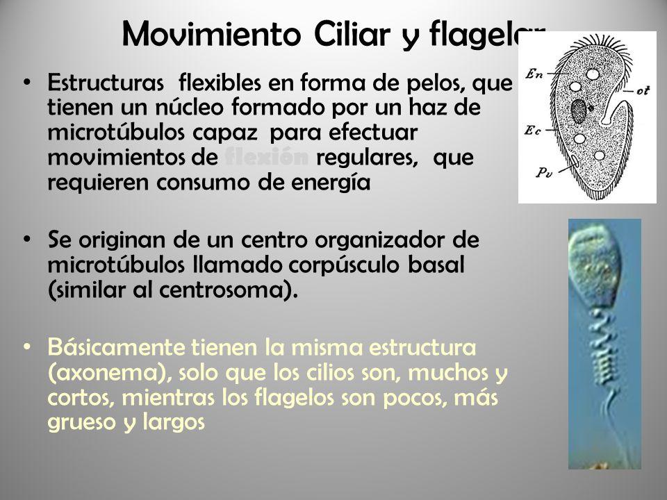 Movimiento Ciliar y flagelar Estructuras flexibles en forma de pelos, que tienen un núcleo formado por un haz de microtúbulos capaz para efectuar movi