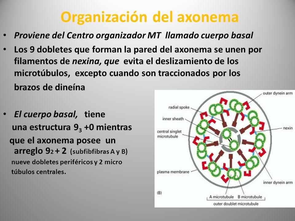 Organización del axonema Proviene del Centro organizador MT llamado cuerpo basal Los 9 dobletes que forman la pared del axonema se unen por filamentos