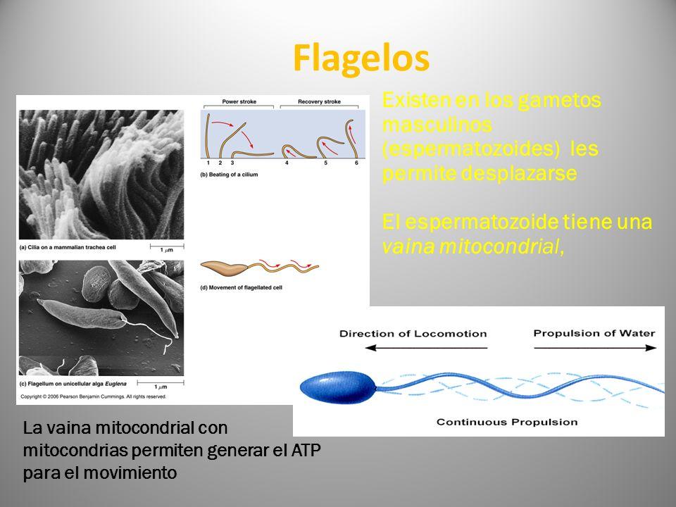 Flagelos Existen en los gametos masculinos (espermatozoides) les permite desplazarse El espermatozoide tiene una vaina mitocondrial, La vaina mitocond