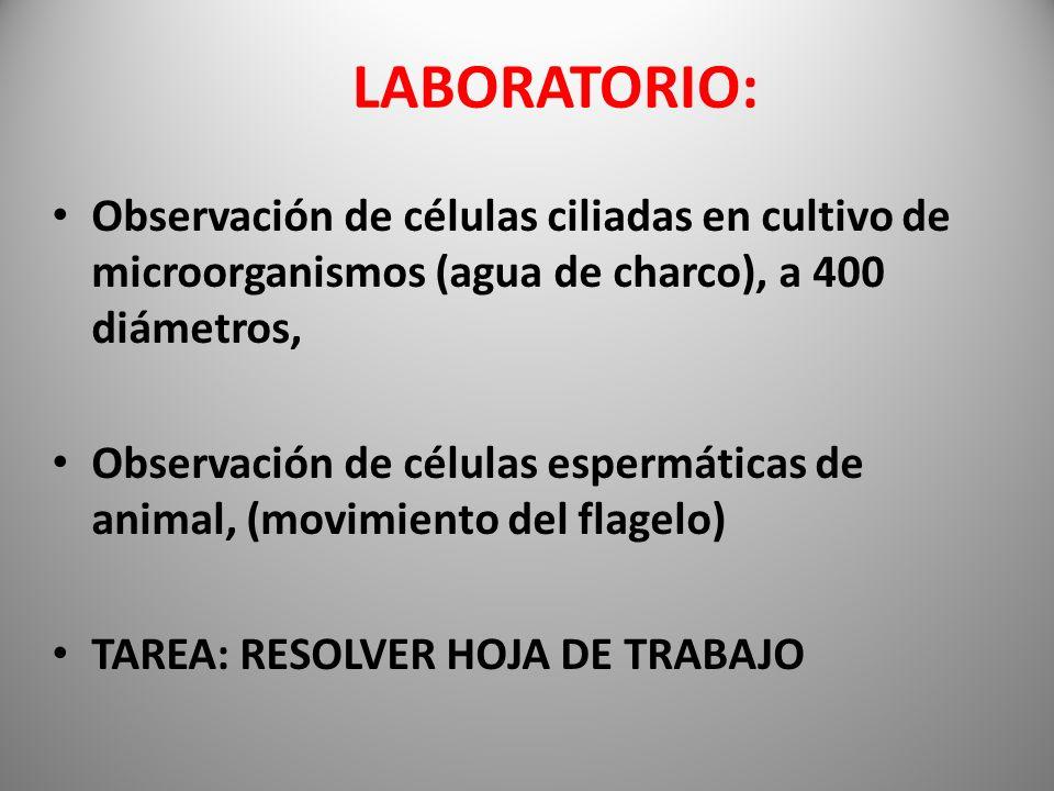 LABORATORIO: Observación de células ciliadas en cultivo de microorganismos (agua de charco), a 400 diámetros, Observación de células espermáticas de a