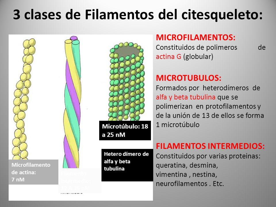 3 clases de Filamentos del citesqueleto: MICROFILAMENTOS: Constituidos de polimeros de actina G (globular) MICROTUBULOS: Formados por heterodímeros de