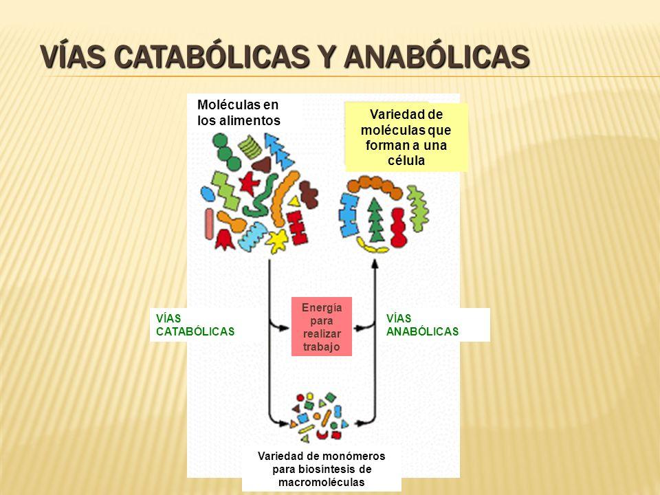 VÍAS CATABÓLICAS Y ANABÓLICAS VÍAS CATABÓLICAS VÍAS ANABÓLICAS Moléculas en los alimentos Variedad de moléculas que forman a una célula Variedad de mo