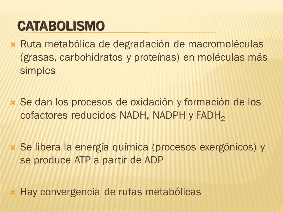 CATABOLISMO Ruta metabólica de degradación de macromoléculas (grasas, carbohidratos y proteínas) en moléculas más simples Se dan los procesos de oxida