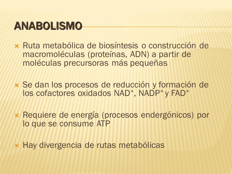 ANABOLISMO Ruta metabólica de biosíntesis o construcción de macromoléculas (proteínas, ADN) a partir de moléculas precursoras más pequeñas Se dan los
