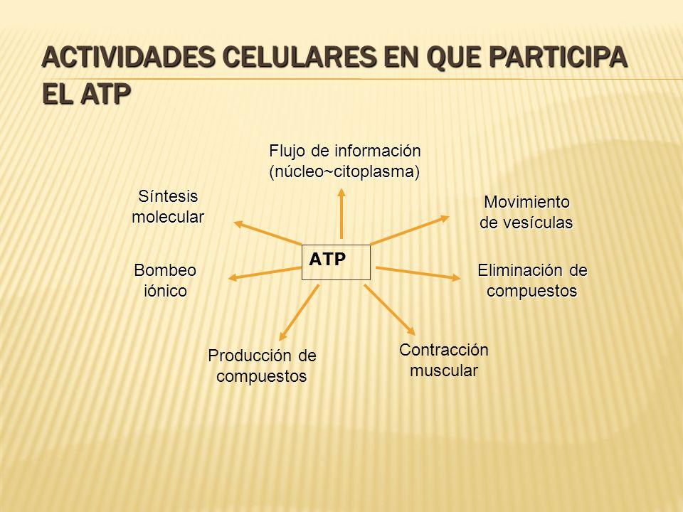 ACTIVIDADES CELULARES EN QUE PARTICIPA EL ATP ATP Síntesis molecular Flujo de información (núcleo~citoplasma) Movimiento de vesículas Bombeo iónico Pr