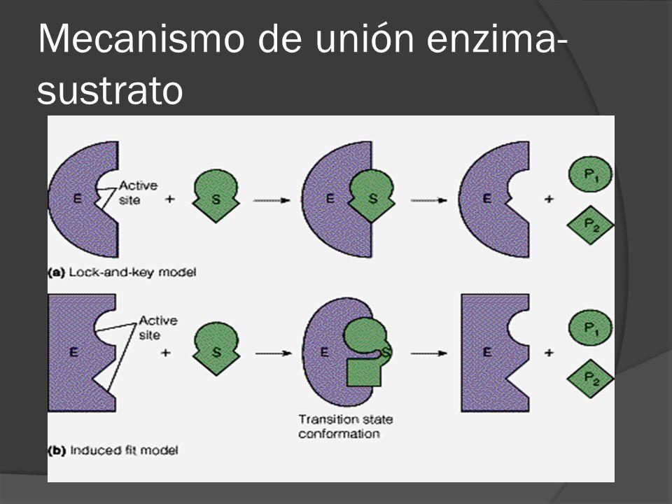 Mecanismo de unión enzima- sustrato