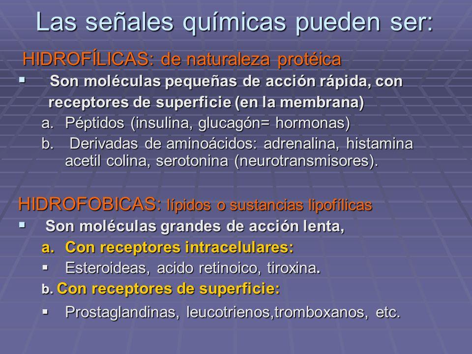 Las señales químicas pueden ser: HIDROFÍLICAS: de naturaleza protéica HIDROFÍLICAS: de naturaleza protéica Son moléculas pequeñas de acción rápida, con Son moléculas pequeñas de acción rápida, con receptores de superficie (en la membrana) receptores de superficie (en la membrana) a.Péptidos (insulina, glucagón= hormonas) b.