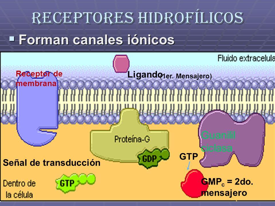 Receptores hidrofílicos Forman canales iónicos Forman canales iónicos Ligando Receptor de membrana Señal de transducción Guanilil ciclasa GTP GMP c =