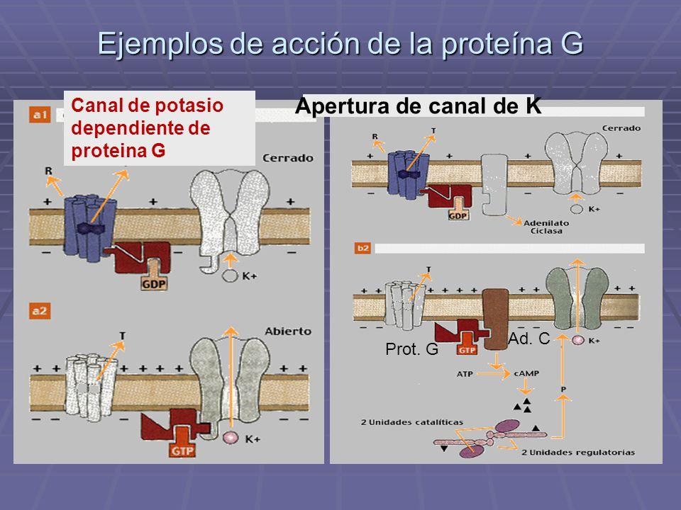 Ejemplos de acción de la proteína G Apertura de canal de K Prot. G Ad. C Canal de potasio dependiente de proteina G