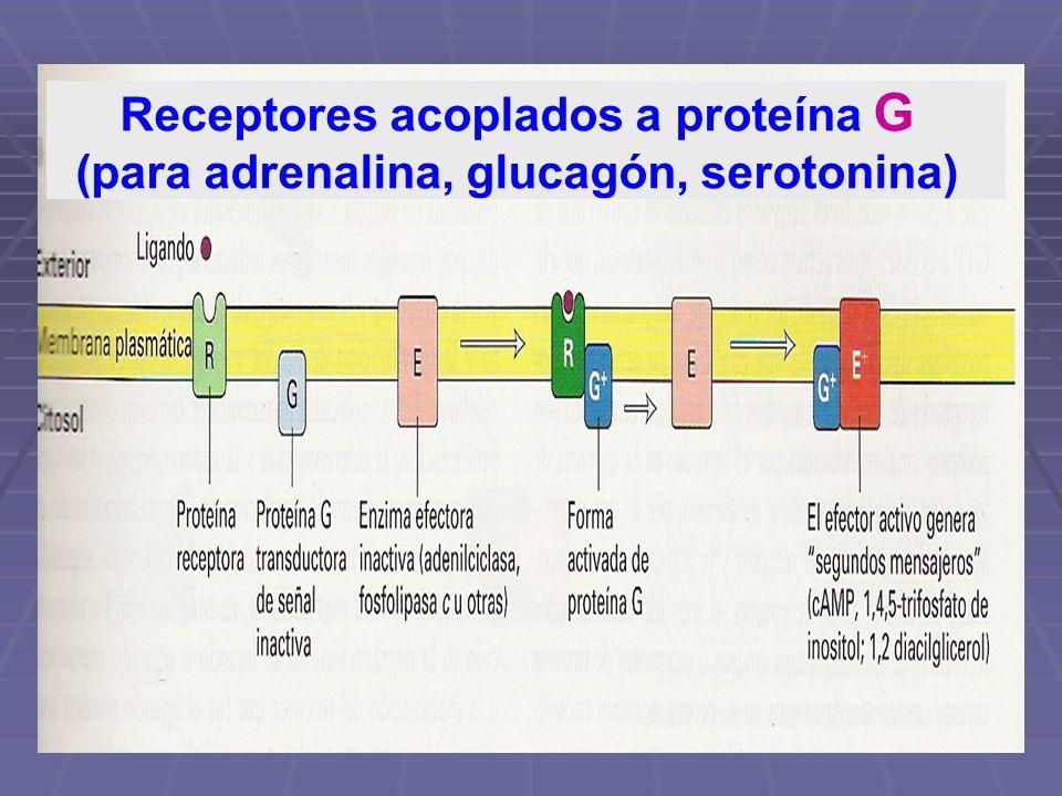 Receptores acoplados a proteína G (para adrenalina, glucagón, serotonina))