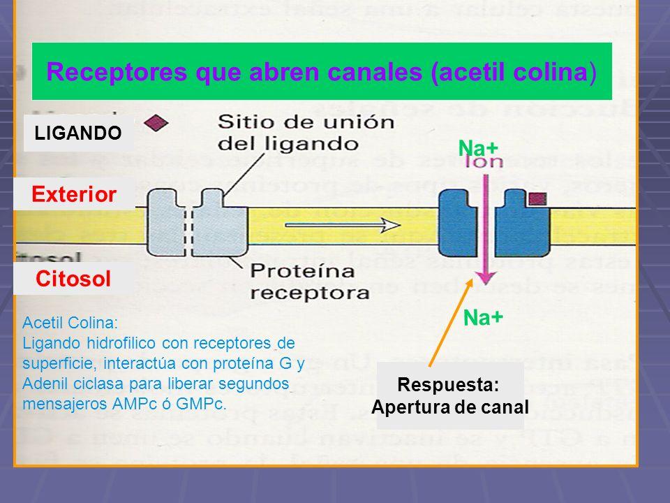 2. Receptores de canal iónico Na+ Receptores que abren canales (acetil colina) Exterior Citosol LIGANDO Respuesta: Apertura de canal Acetil Colina: Li