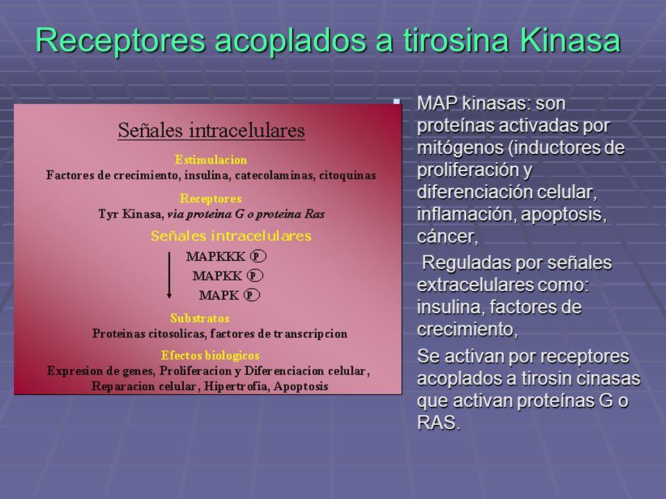 Receptores acoplados a tirosina Kinasa MAP kinasas: son proteínas activadas por mitógenos (inductores de proliferación y diferenciación celular, inflamación, apoptosis, cáncer, MAP kinasas: son proteínas activadas por mitógenos (inductores de proliferación y diferenciación celular, inflamación, apoptosis, cáncer, Reguladas por señales extracelulares como: insulina, factores de crecimiento, Reguladas por señales extracelulares como: insulina, factores de crecimiento, Se activan por receptores acoplados a tirosin cinasas que activan proteínas G o RAS.