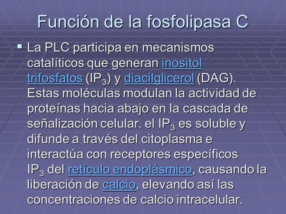 Función de la fosfolipasa C La PLC participa en mecanismos catalíticos que generan inositol trifosfatos (IP 3 ) y diacilglicerol (DAG). Estas molécula