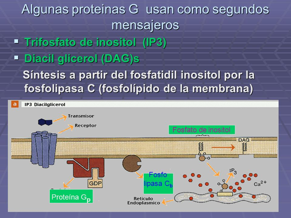 Algunas proteinas G usan como segundos mensajeros Trifosfato de inositol (IP3) Trifosfato de inositol (IP3) Diacil glicerol (DAG)s Diacil glicerol (DAG)s Síntesis a partir del fosfatidil inositol por la fosfolipasa C (fosfolípido de la membrana) Síntesis a partir del fosfatidil inositol por la fosfolipasa C (fosfolípido de la membrana) Fosfo lipasa C b Fosfato de inositol Proteína G p